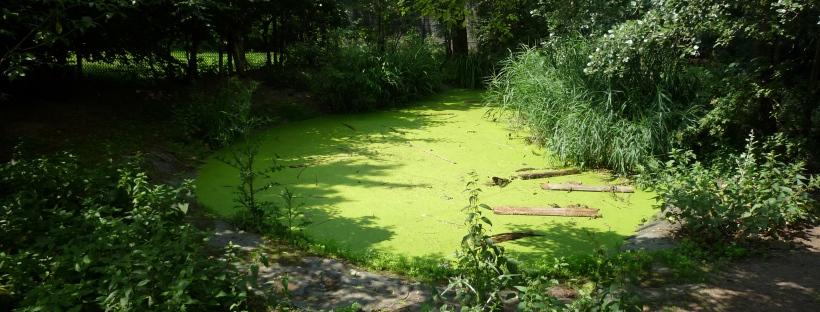 Der veralgte Teich